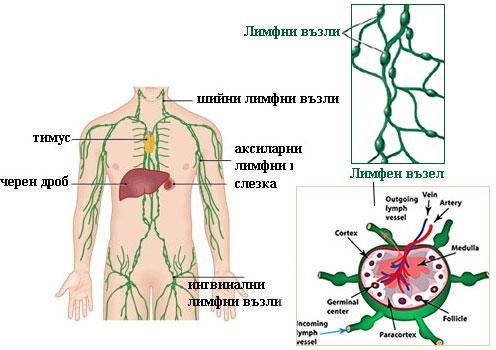 увеличени шийни лимфни възли