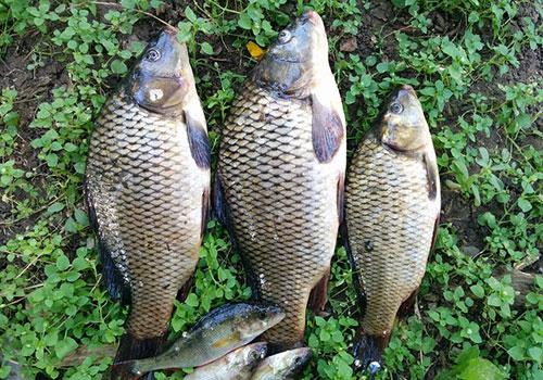 рибна тения