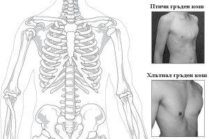 видове гръден кош